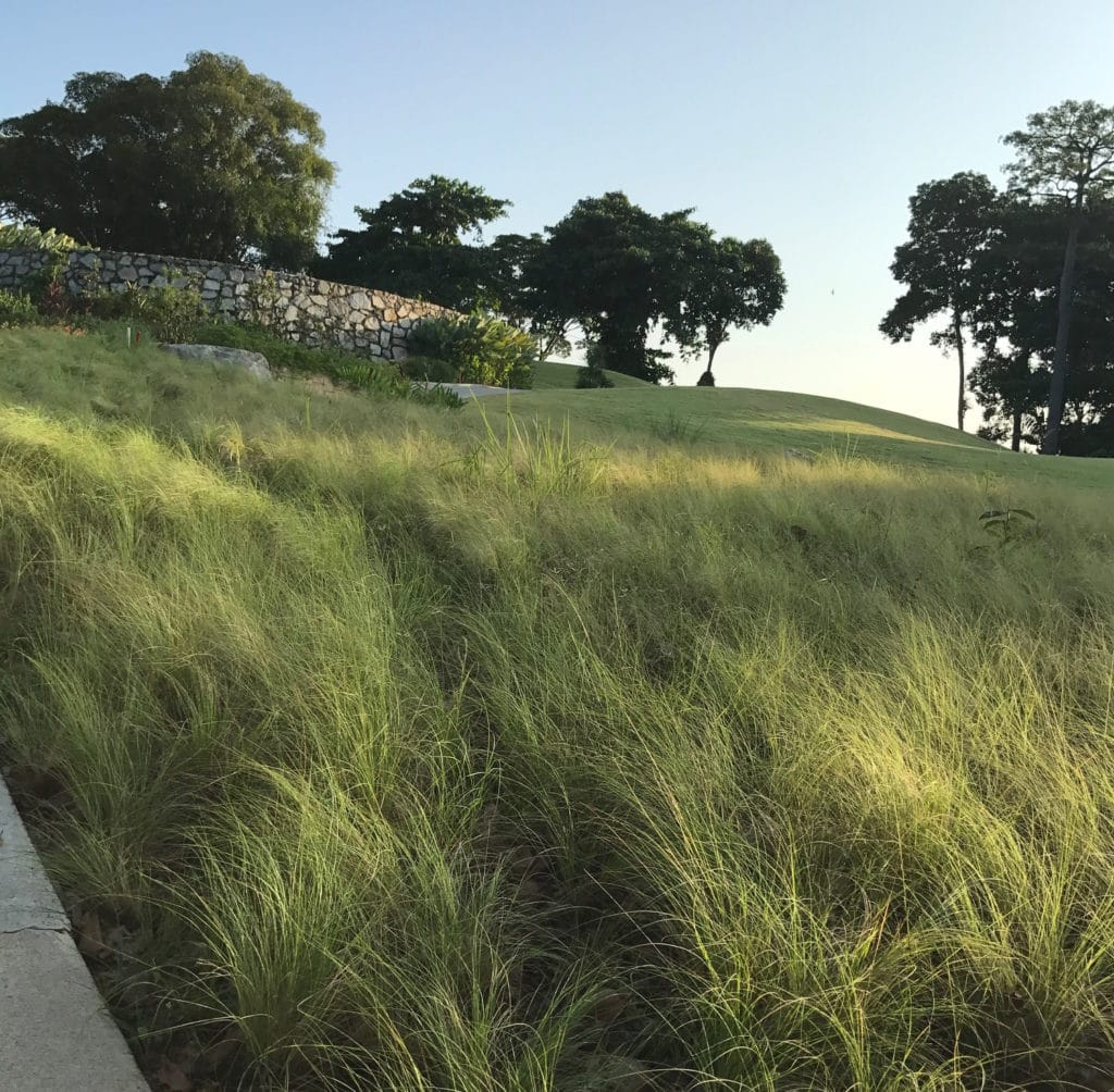 native grass in singapore