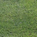Silver Sport Perennial Ryegrass